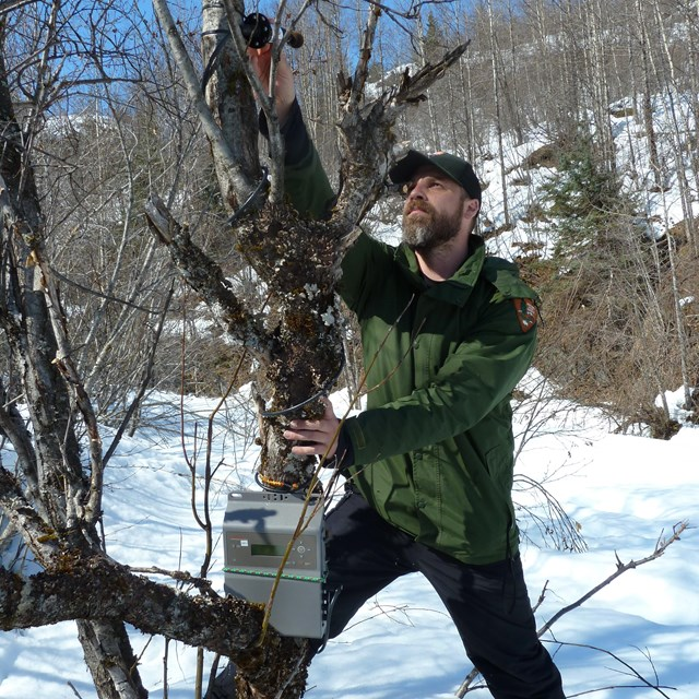 A park scientist reaches up in a tree, installing a piece of equipment.