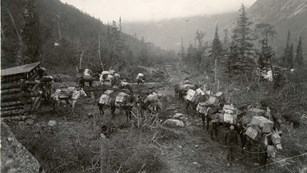 Black and white image of about a dozen mules heavily packed with large boxes along a trail.