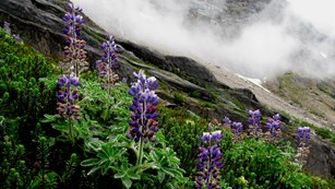 Purple flowers in front of mountains