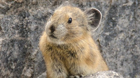 Pika sitting on rock at Crater Lake National Park