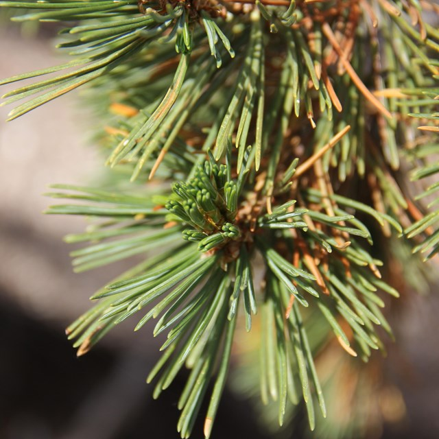 Close up view of whitebark pine needles