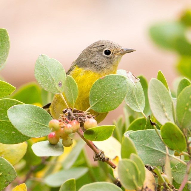 Nashville Warbler at Crater Lake NP