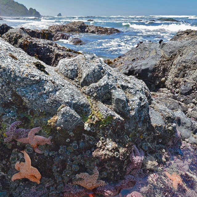 Sea stars in foreground of tide pools at Enderts Beach at Redwood National Park
