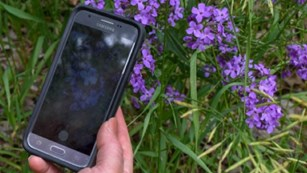 Hand holds a smart phone above a clump of purple flowers. Same flowers are displayed on phone.