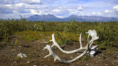 caribou antlers on tundra in front of mountains