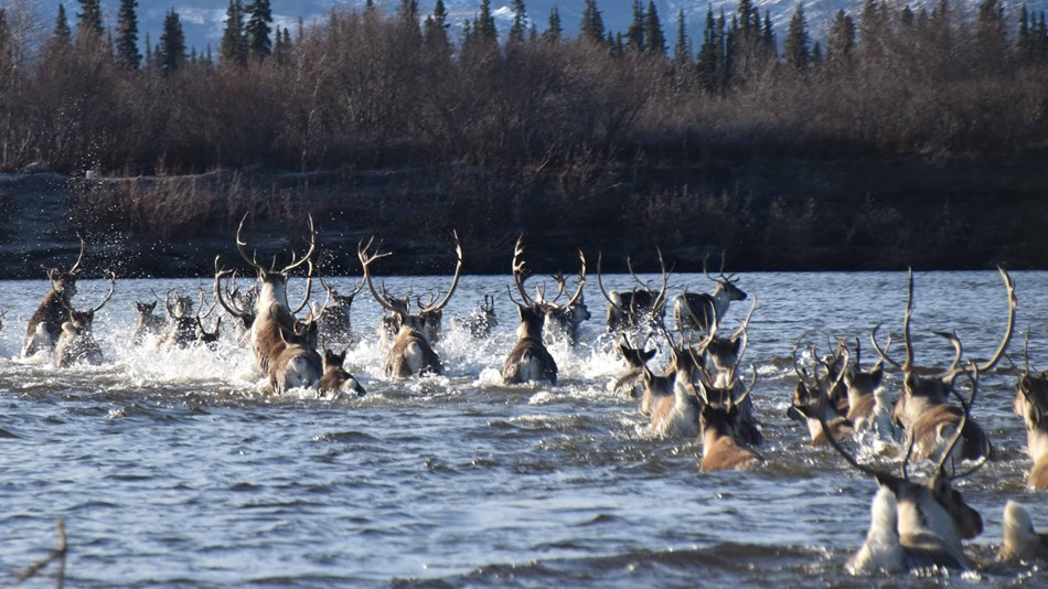 a group of about 30 caribou splash into the water of a river with snowcapped mountains