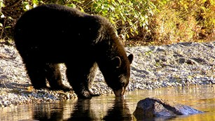 A black bear takes a drink from a body of water while standing on the shoreline