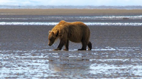 A single brown bear walks across tidal flats with distant mountains
