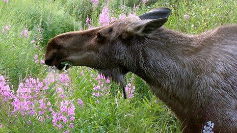 A moose grazes on pink fireweed flowers