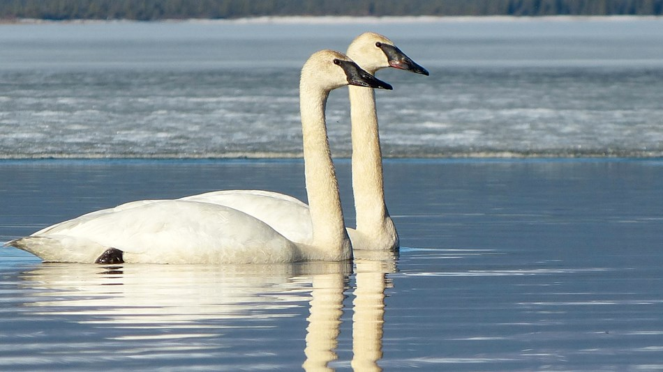 Two swans swimming side by side on an icy lake