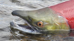 The head of a sockeye salmon above the water