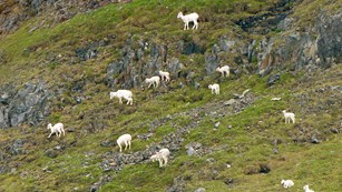 A group of white dall sheep on a green mountainside
