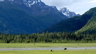 A mountain above a sedge meadow with bears grazing