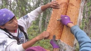 two women pull bark from a birch tree