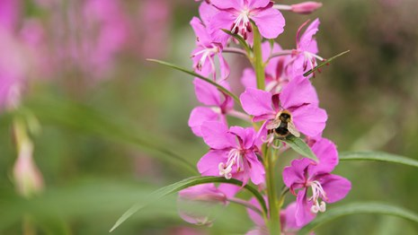 close up photo of a pink fireweed flower with a bee on it.