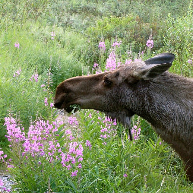 a moose sniffs pink fireweed