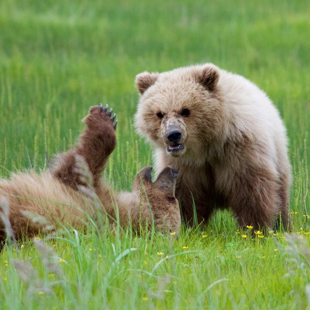 Two brown bear cubs play in a green sedge meadow