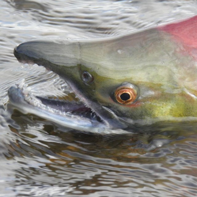 A red sockeye salmon emerges from the water
