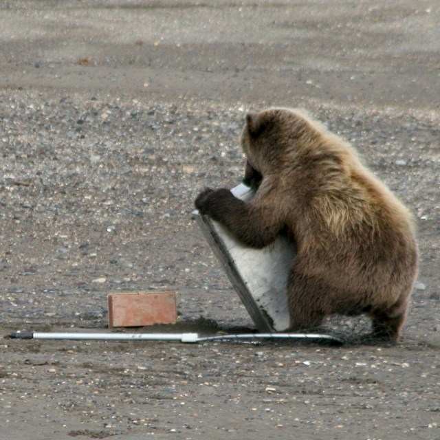 Photo of a small brown bear wrestling with a large metal box designed to store salmon.