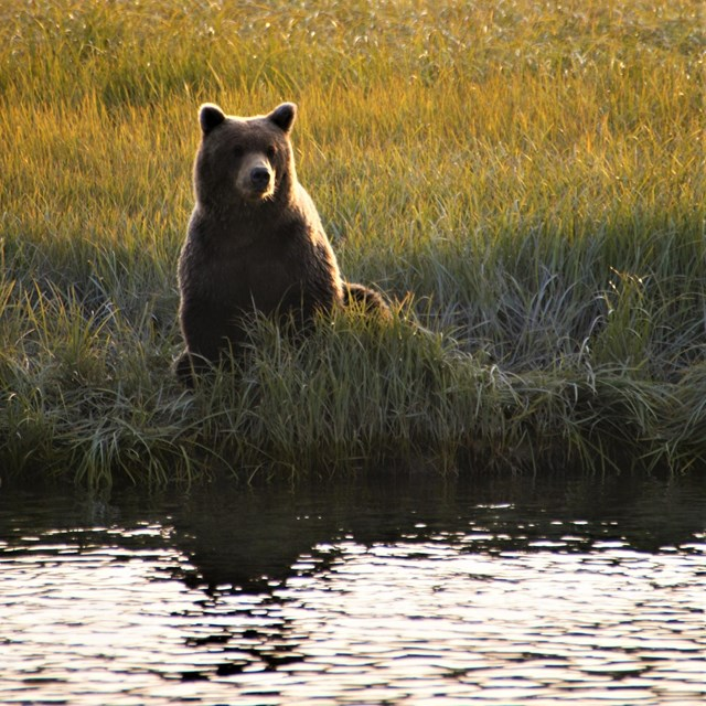 a brown bear sitting on the edge of a river in a sedge medow