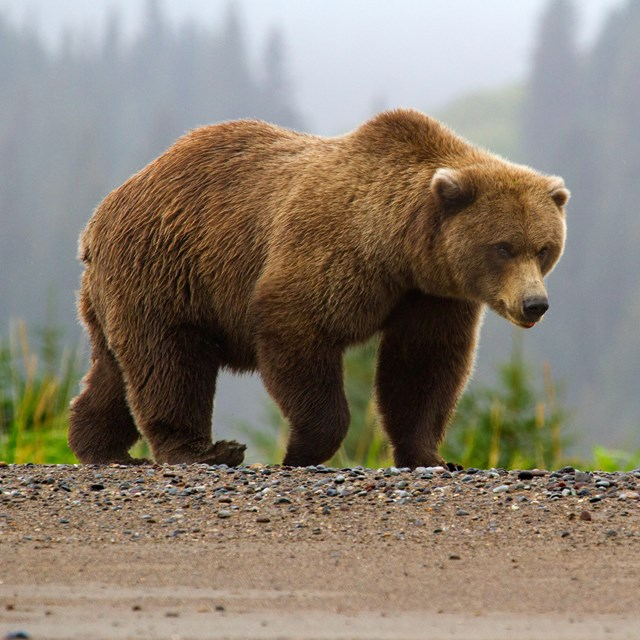 Photo of a brown bear walking along a beach with a foggy forest in the background.