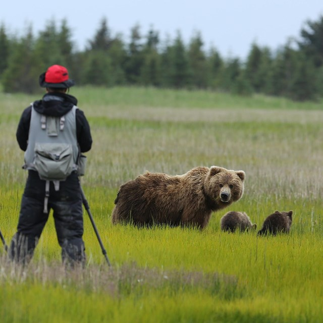 A man stands with his back towards the photographer watching a brown bear sow and 2 cubs in a meadow