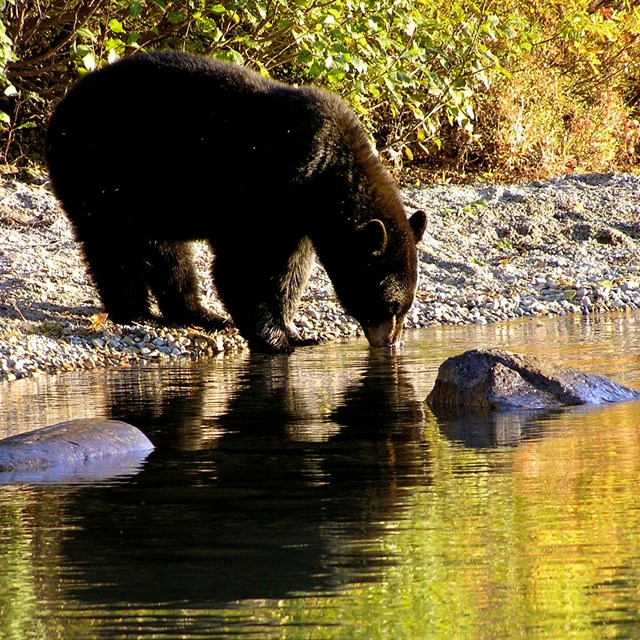 An American black bear taking a drink. The bear and the yellow fall foliage reflect in the water.