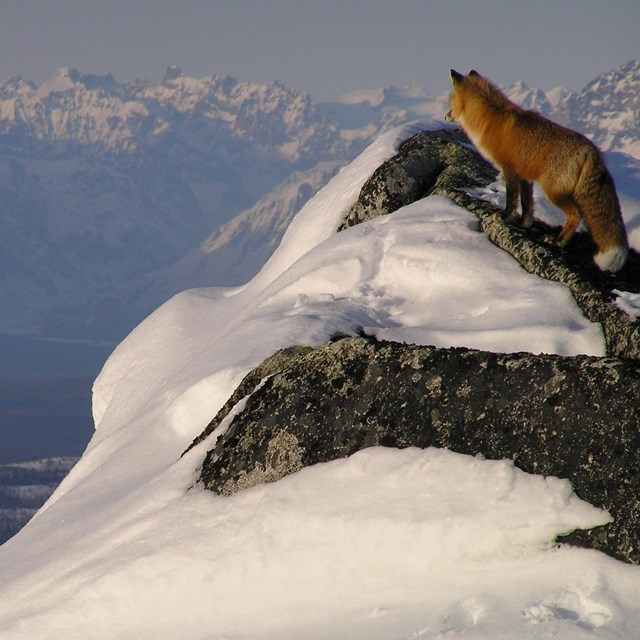 Photo of a red fox standing atop a snowy mountain peak looking at taller mountains in the distance.