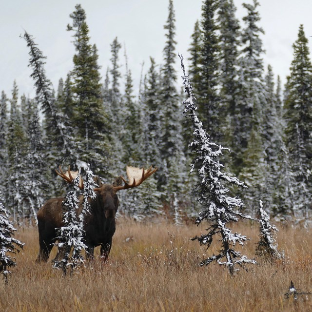 A moose stands among snow covered spruce trees