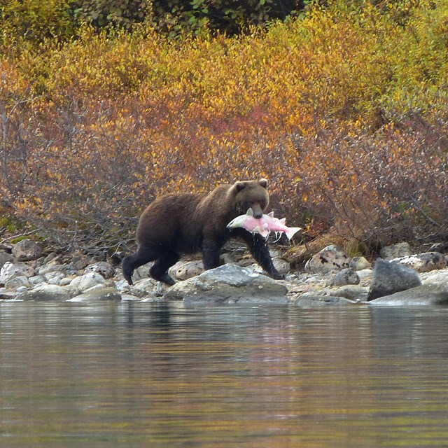 a bear with a salmon in its mouth walking along a lakeshore