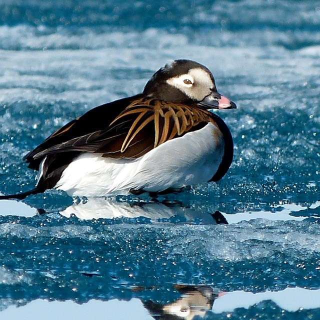 A black and white bird floating on an icy lake.