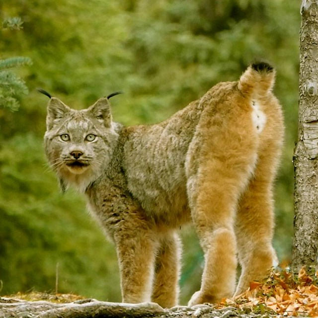 photo of a spotted wild cat called a lynx standing in a forest looking at the photographer.