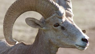 Close up of Big horn sheep
