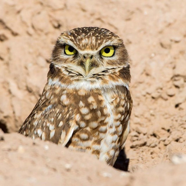 Burrowing Owl sitting in rocks