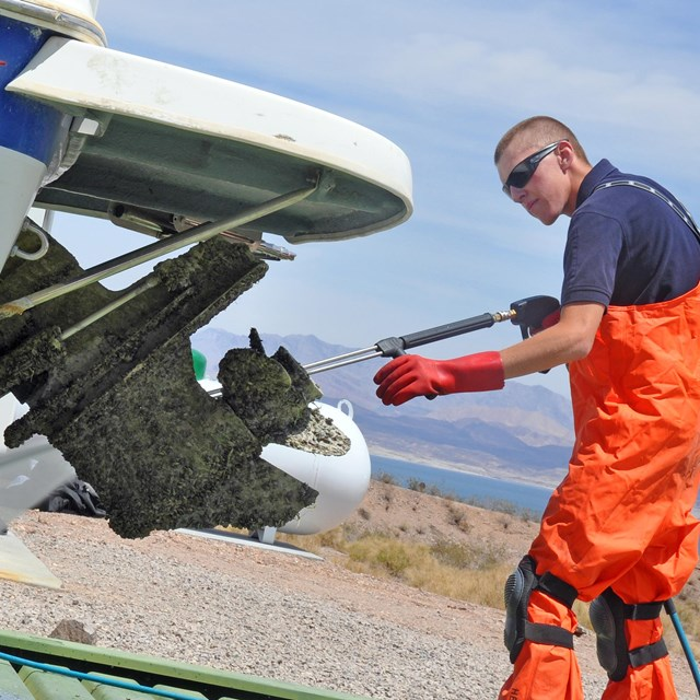 Quagga mussels found in Lake Mead