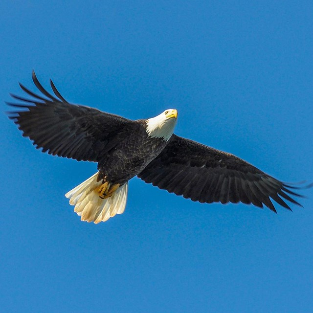 Bald Eagle flying through the sky
