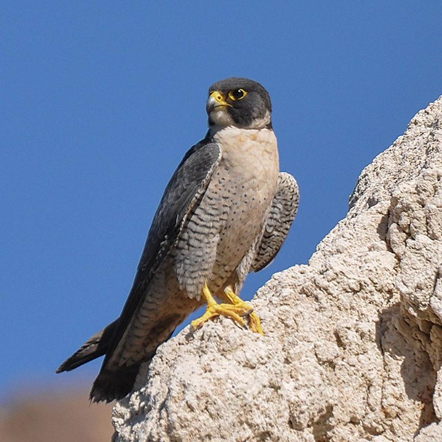 Peregrine falcon on a rock