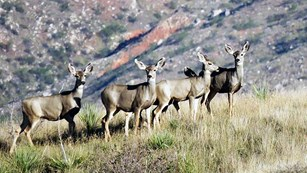 Five Mule Deer standing on a grassy hill.