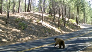 A brown-colored bear walks across a road lined by small, sparsh conifers.