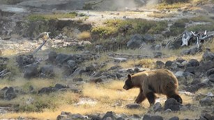 A light-brown black bear walks across an area of rock and yellow grass from which steam is rising