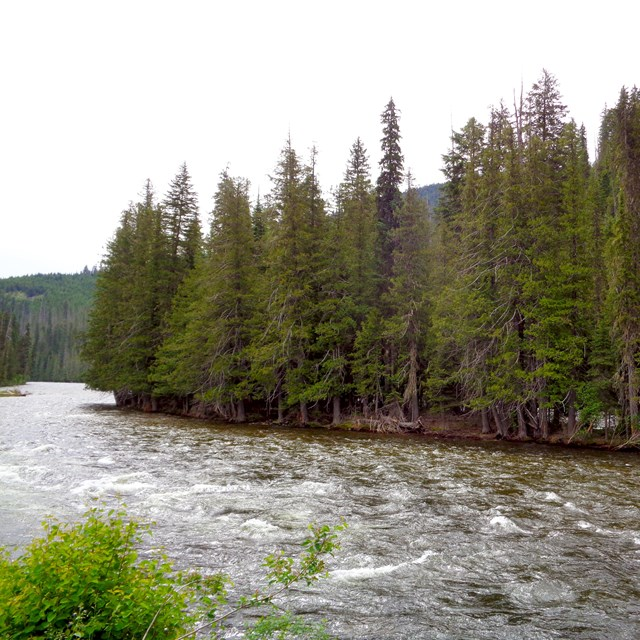 Flowing river with evergreen trees