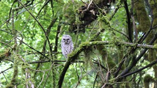 Young barred owls sits in a tree