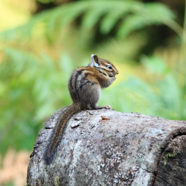 Chipmunk on log