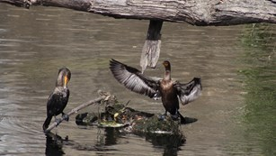two cormorants, large birds with pouched-bills, sit on a broken tree branch in the Concord River