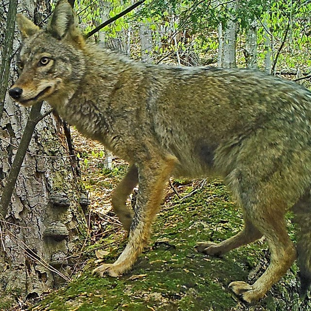Coyote image from trail camera