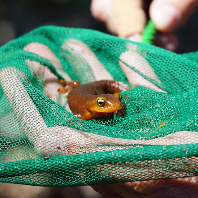 Person's hand lifting a California newt our of a green net from below