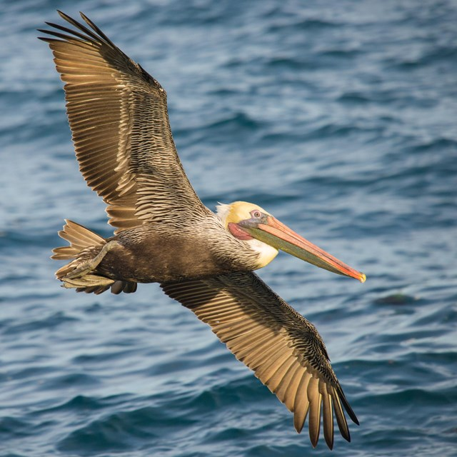 Brown pelican flying low over the water