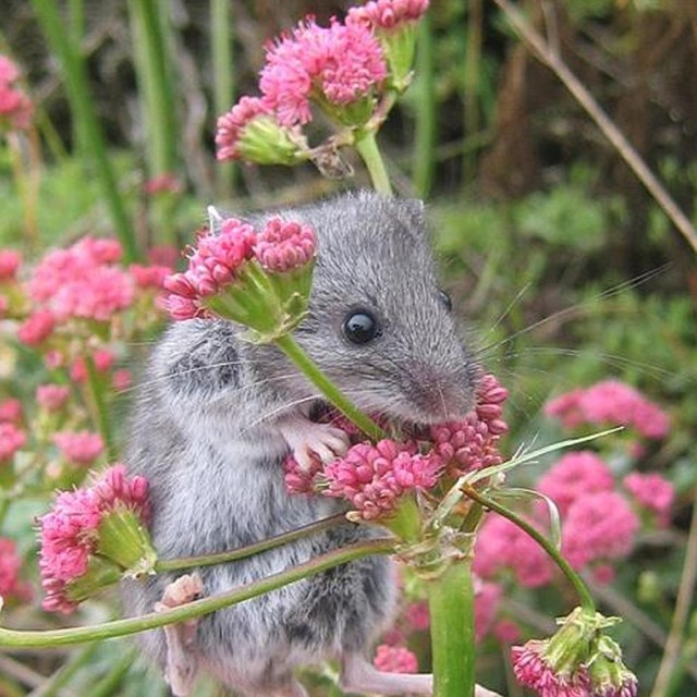 Gray mouse with large dark eyes climbing up onto pink flowers. © Cathy Schwemm