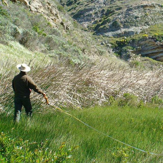 Person extending a measuring tape through the grass for vegetaion monitoring in Channel Islands NP