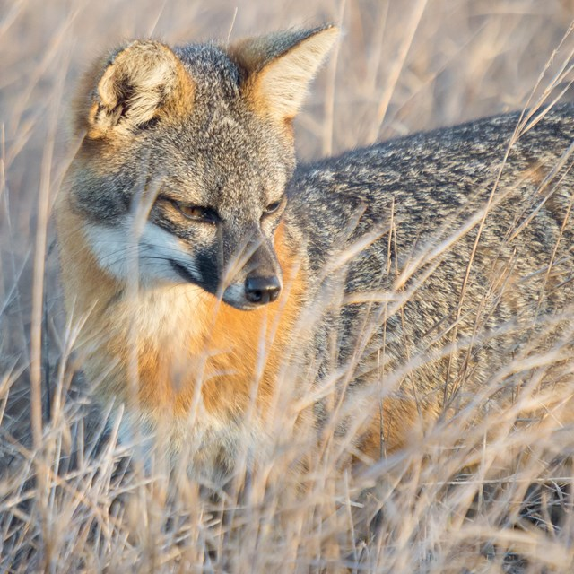 Small gray-brown and orange fox hunting among tall, dry grass